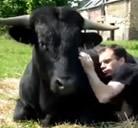 La amistad entre un toro bravo y su dueño