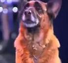 Un perro que suma, resta, divide y mucho mas…