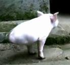 Cerdo con dos patas y tan feliz