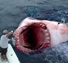 Un depredador de las aguas: el Tiburón Blanco